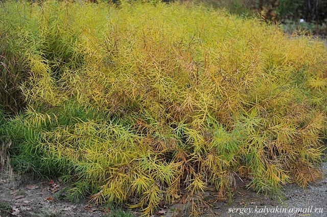 Amsonia hubrichtii (1)