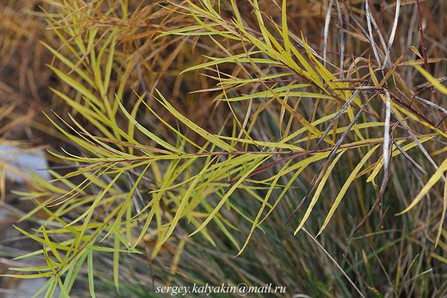 Amsonia hubrichtii (3)