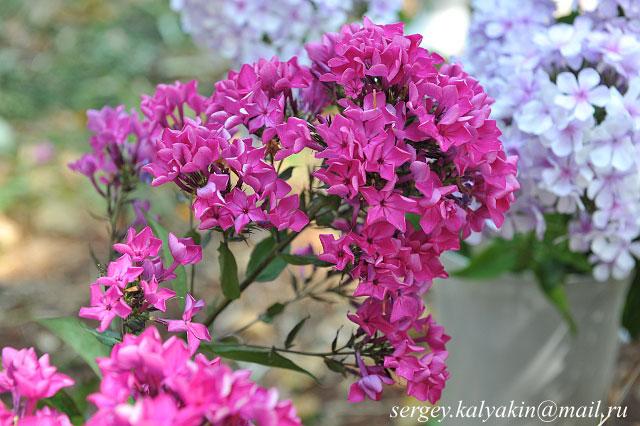 Флокс Пурпурная вуаль
