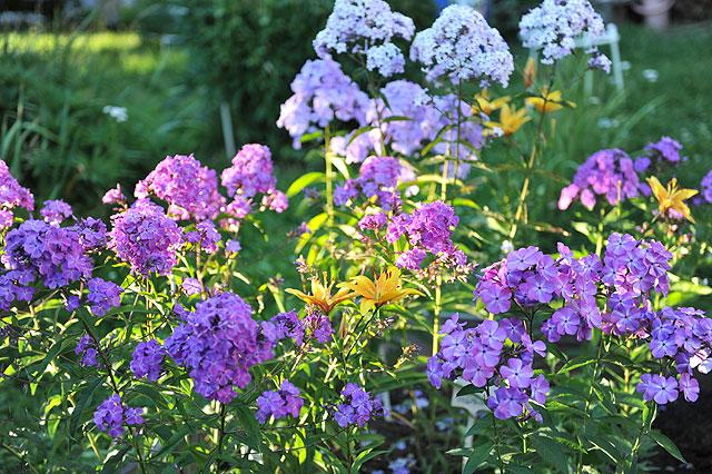 Цветы которые сажать в грунт 25