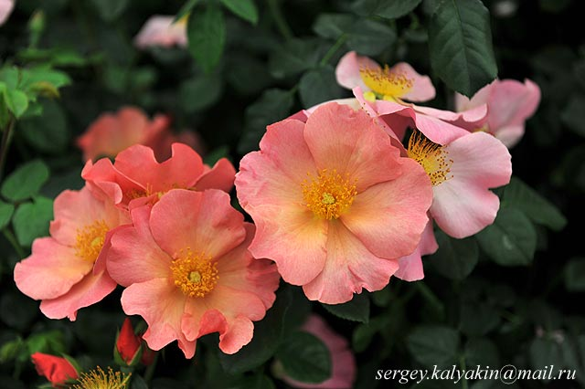 Rosa Simple Peach (1)