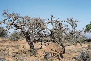 Ладанные деоевья в Дофаре (Оман) Boswellia Carteri