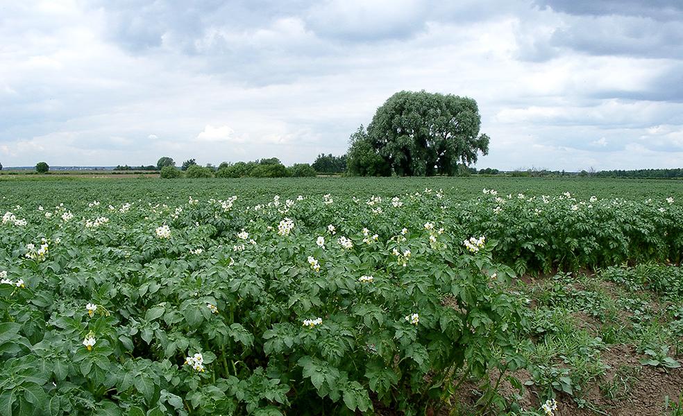 Цветы картофельных полей