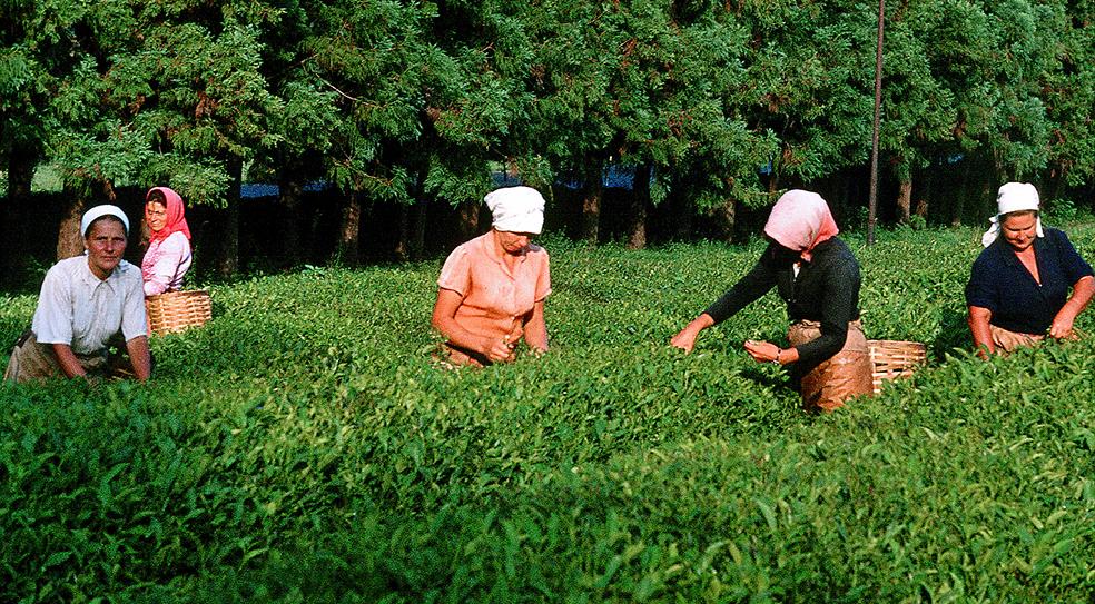 Грузинские рабыни на чайных плантациях