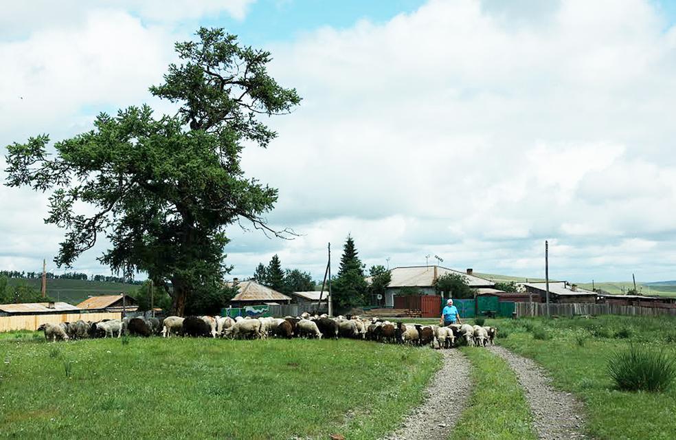 Хакасские бараны населяют Топанов