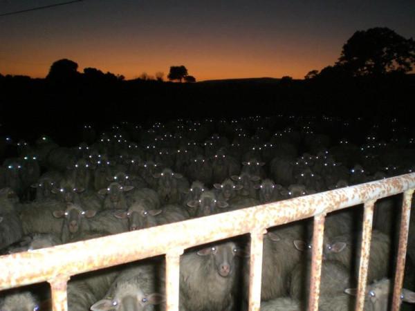 овцы-ночь-песочница-510904