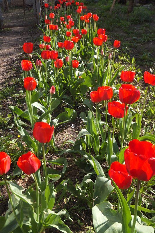 тюльпаны во дворе