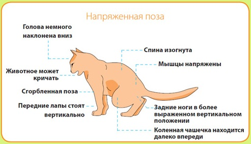 Воспаление члена у кота