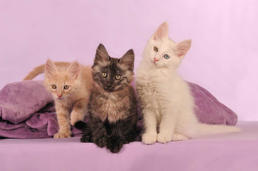 картинки какие котята бывают википедии