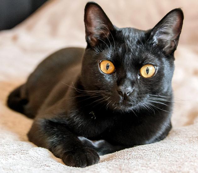Бомбейский кот из интернета.