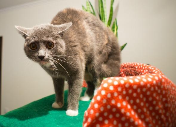 Кошка напугана, пассивно-агрессивная реакция.