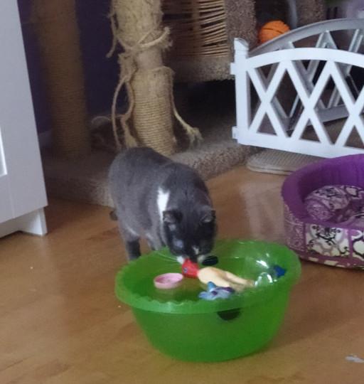 Маруся первой из кошек догадалась как играть с этой штукой. И поела и попила.