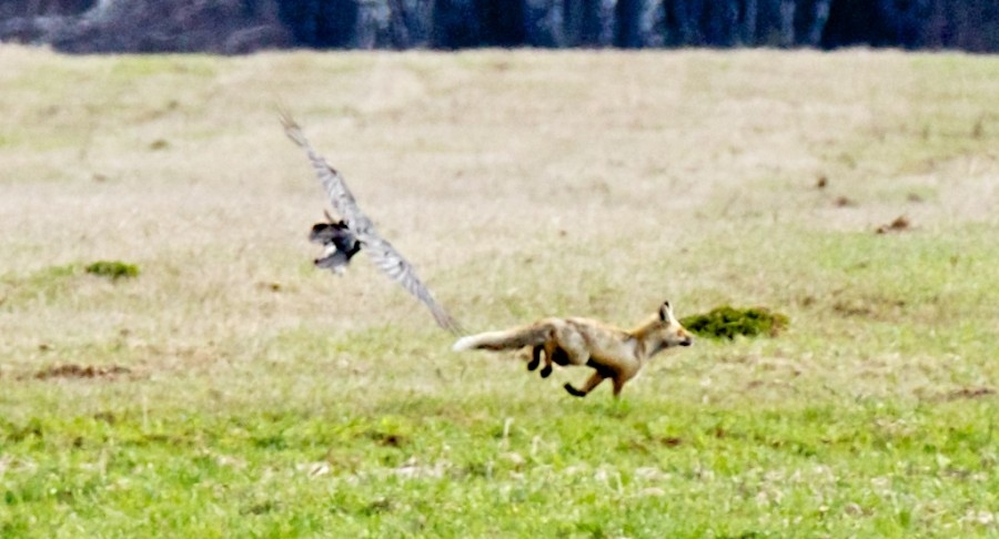 Голубино май 2013 ворон гонит лису крупно