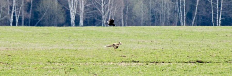 Голубино май 2013 ворон гонит лису