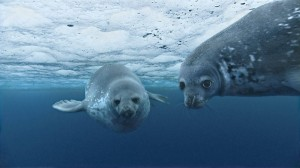 Weddell_seal.jpg