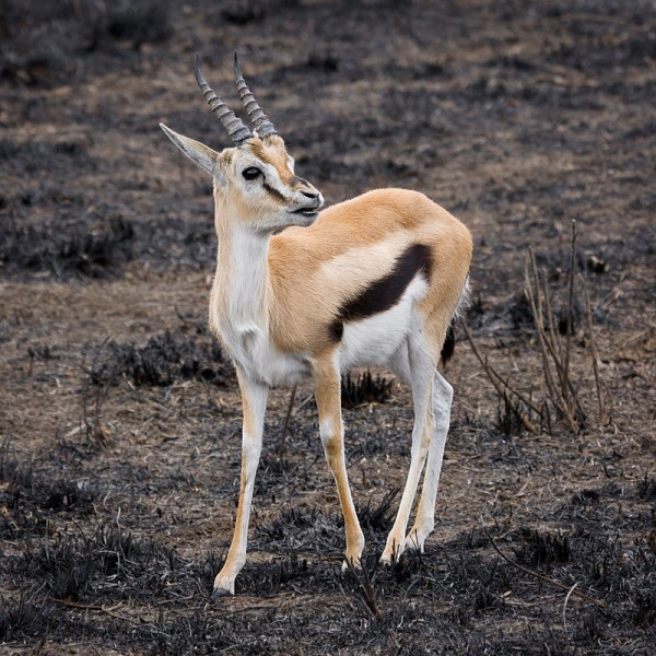 800px-Serengeti_Thomson-Gazelle3