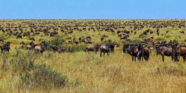 1920px-Wildebeest-during-Great-Migration