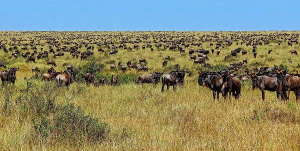1920px-Wildebeest-during-Great-Migration