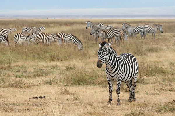 1280px-Zebras_Ngorongoro_Crater