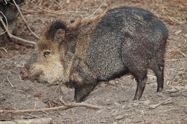 1280px-Collared_peccary02_-_melbourne_zoo