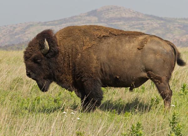 1024px-Bison_bison_Wichita_Mountain_Oklahoma