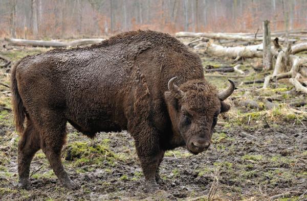 1280px-Bison_bonasus_(Linnaeus_1758)