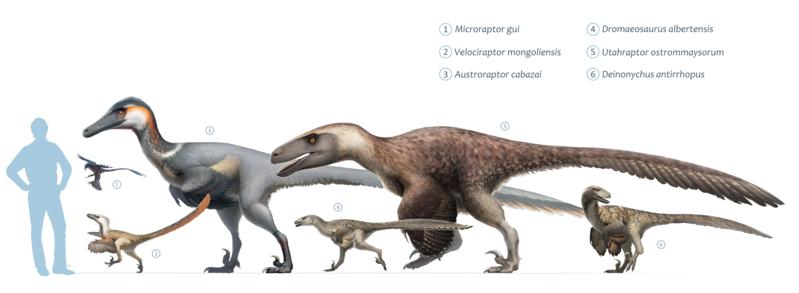 Даже мелкие динозавры вымерли. Почему? 799px-Dromaeosaurs