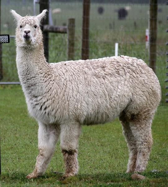 800px-Alpaca_(31562329701)