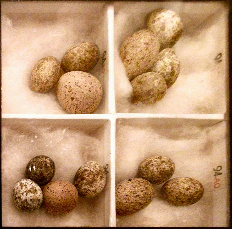 800px-Cuckoo_Eggs_Mimicking_Reed_Warbler_Eggs