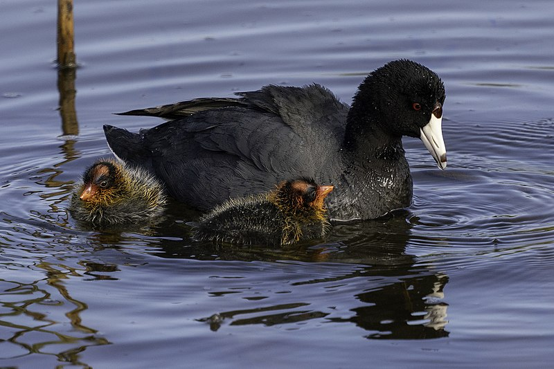 800px-American-coot-casey-klebba