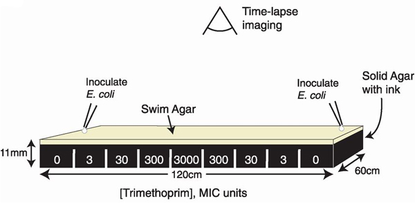 spatiotemporal_microbial_evolution_on_antibiotic_landscapes_fig2_600