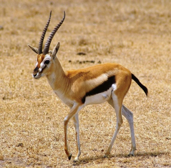 thomson_gazelle_wallpaper_01-e1411638191964