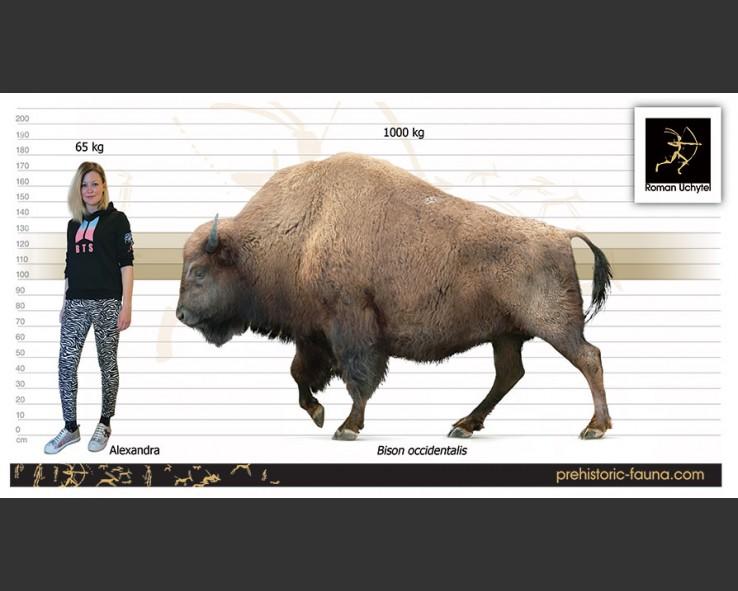 Bison-occidentalis-size-738x591