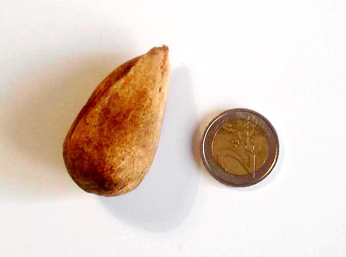 Araucaria_bidwillii_Seed