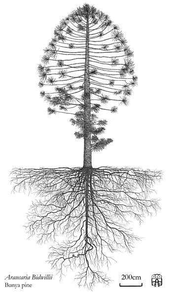 349px-Araucaria_Bidwillii_Bunya_pine_Architectural_elevation_with_root_system_Hand_drawing_Axel_Aucouturier