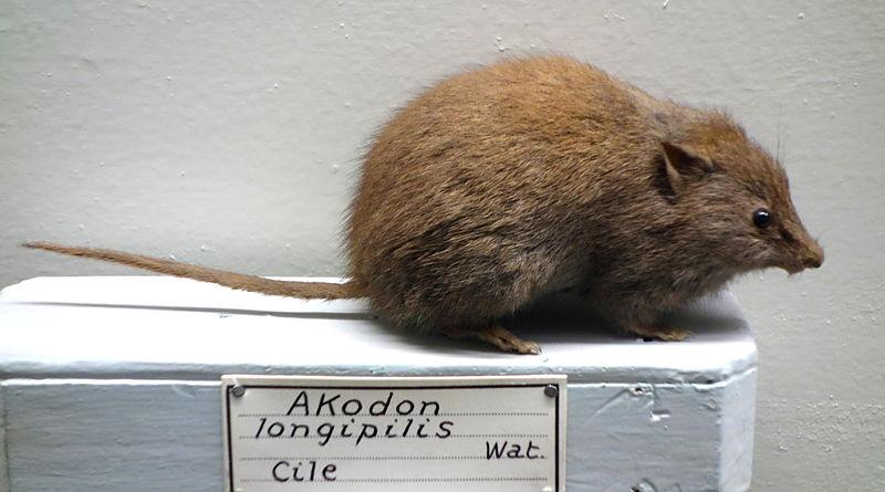 Akodon_longipilis_-_Museo_Civico_di_Storia_Naturale_Giacomo_Doria_-_Genoa,_Italy_-_DSC02807