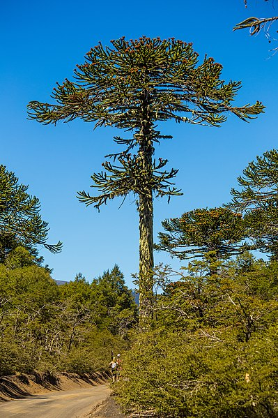 399px-Araucaria_en_Parque_Nacional_Conguillio
