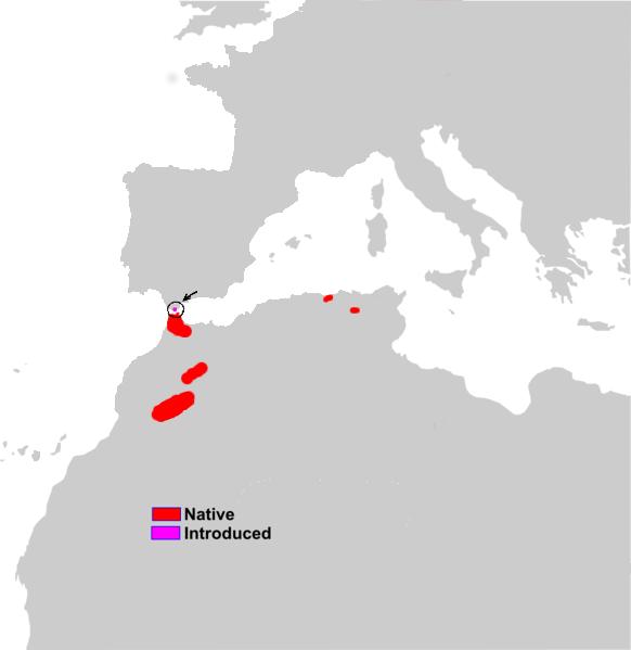 Macaca_sylvanus_range_map