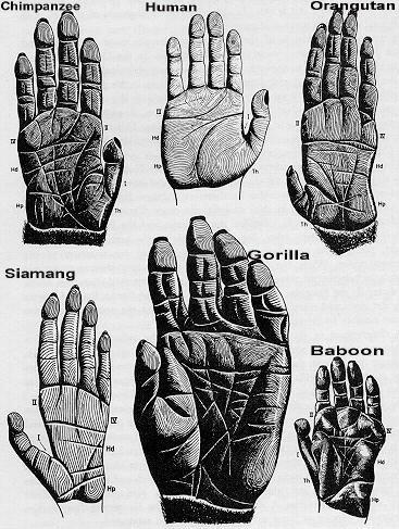 anthropoid_hands