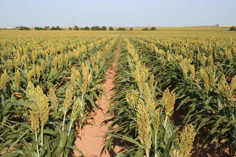 Sorghum - fields