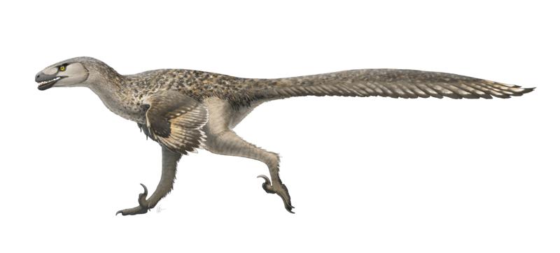 800px-Dromaeosaurus_Restoration