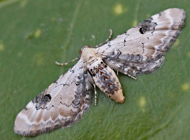 800px-Eupithecia_centaureata01