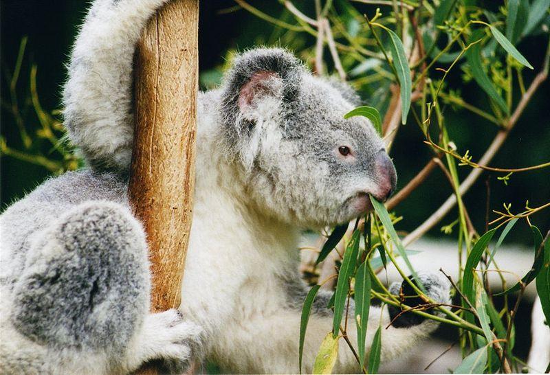 Австралия в огне, коалы в беде, Дарвинизм на коне 800px-Koala-ag1