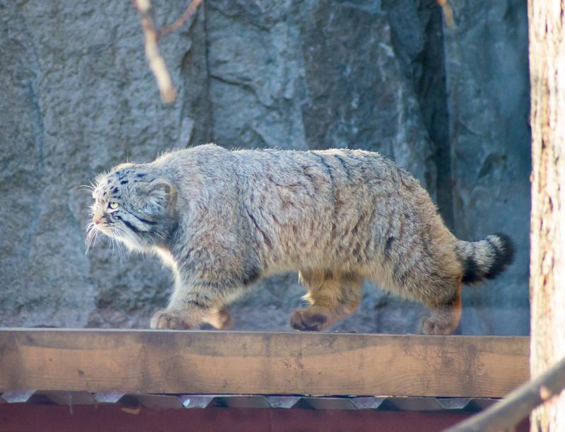 Felis_manul_in_moscow_zoo