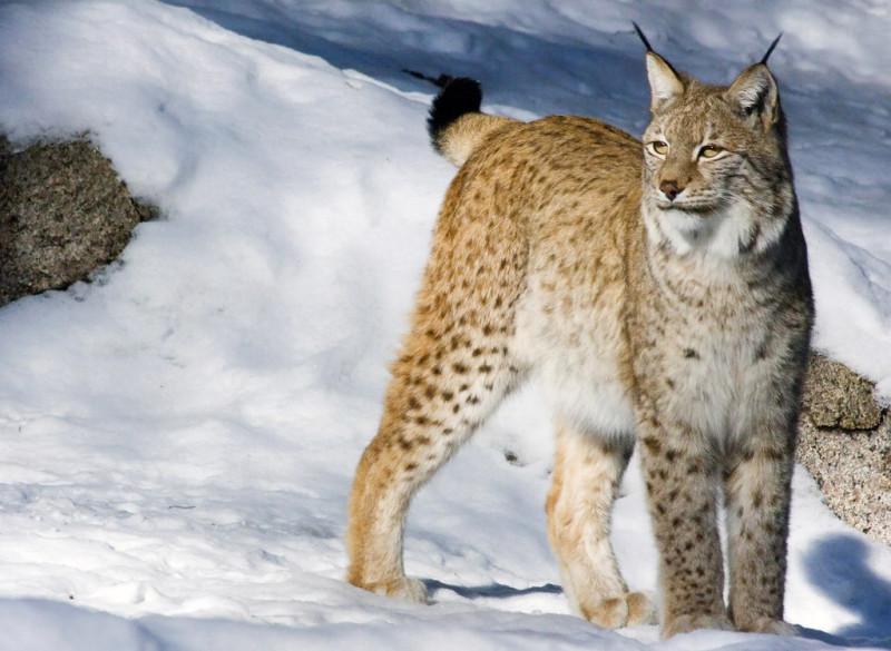Леопард-1451335274