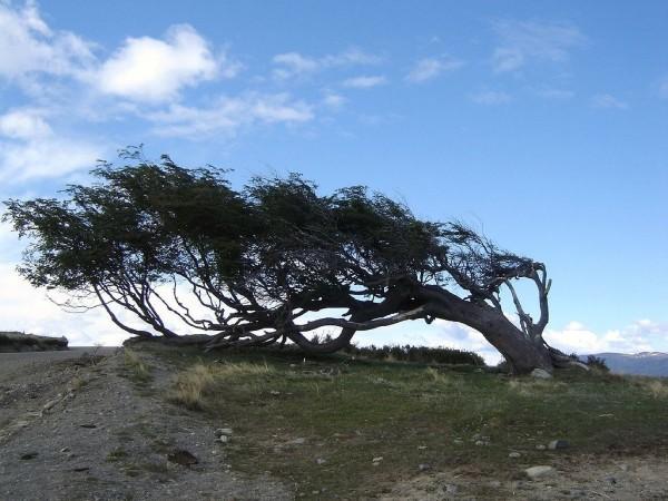 1024px-Windswept_tree_-_Ushuaia