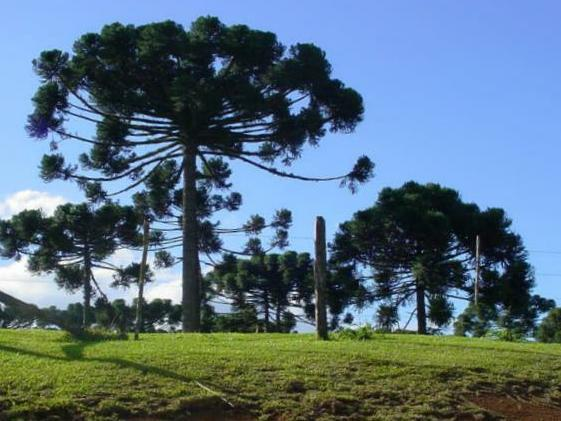 Pinheiro-do-Paraná