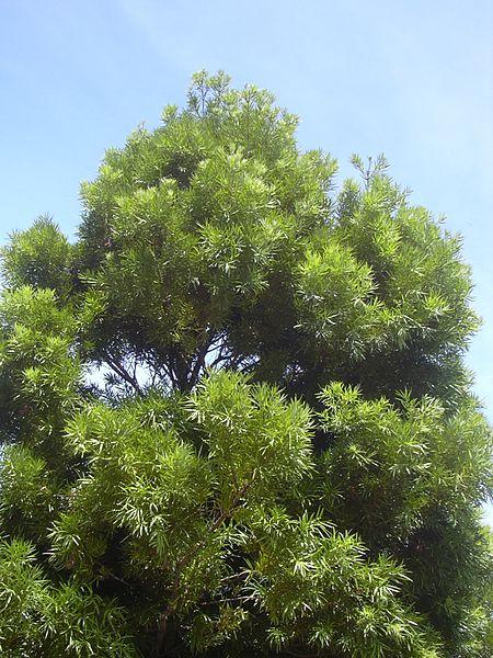 Starr_040812-0017_Podocarpus_sp.