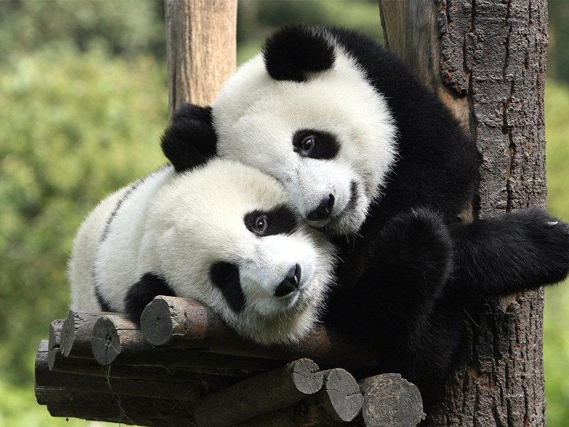 китайские панды, панды собственность Китая