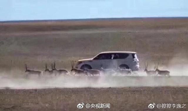 Топ-10 Китайских неадекватных-туристов по версии Shanghaiist в 2017 туристы преследовали тибетских антилоп которые находятся под угрозой вымирания